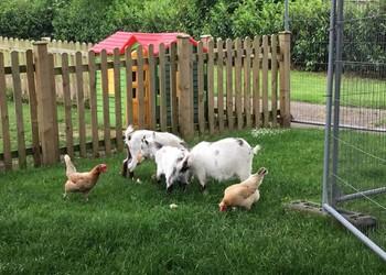 Chicken update